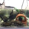 トウブドロガメ、子亀達の給餌風景。
