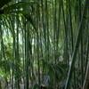 岡山市の中心に密生した竹藪