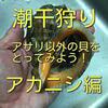 潮干狩り アサリ以外の貝をとってみよう! アカニシ(アカニシ貝)編