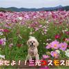 【わんこと旅】 三光コスモス園 ≪大分県≫