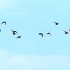 五月晴れの空を飛んで水田に舞い降りたムラグロたち