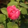実佳によるバラとシクラメン