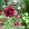 *今日の<花とアートとライブラリー>の花は黒薔薇の代表