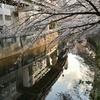 🌸江戸川橋公園で満開近い桜を撮影しました!