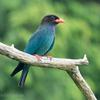 🦜野鳥の回【184】森の青い宝石🆕ブッポウソウ(仏法僧)