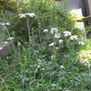 庭にお花が咲きました~生きてるだけですごいことだな~