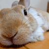【ミニウサギのサスケ先輩】迫り来るうさケツ!?かわいいもふもふなうさぎのお尻好きにはたまらない!