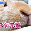 【うさぎの飼い方】ウサギの春先換毛期にはご用心!?しっかりとブラッシングをしてあげましょう