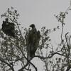 コシジロハゲワシ(White-backed Vulture)など