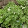 ジャガイモの花        Kartoffelblüte