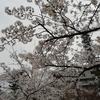 19年鳥屋野潟の桜