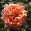 開花ラッシュ…3 今年も紅茶が飲みたくなる香り