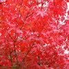 伊達正宗の娘・五郎八姫にちなんだ「いろは紅葉」を夫・松平忠輝の眠る貞松院で見てきた。