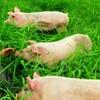 北海道豚の放牧  ストレスレスの豚