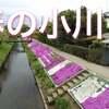 芝桜 4K Drone Japan【渋田川】空撮ドローン 神奈川 ドローン男子
