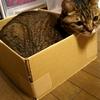 キジトラ猫 猫あるある。