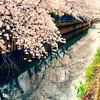 桜が満開の雨上がりに。。。