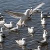 餌をねだるユリカモメ集団とオオバン集団