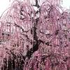 地元・岐阜近辺であれこれ撮影 「梅」と「華」と「見返り美猫?」