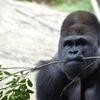 せっかくなのでゴリラの生態について調べてみた