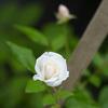 台風に咲いた白い薔薇