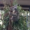 【子連れ海外旅行】オーストラリア ブリスベン コアラ動物園