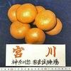 """ミカンの品種1. みかんと聞いて思い浮かぶのは温州ミカン.現在,流通のための生産が報告されているのは,実に118品種;宮川早生,青島温州------.「日本にかなり以前からある""""温州ミカン以外の柑橘類""""」もミカンという感覚もあります.温州ミカンや上記のかなり以前からある ハッサク,イヨカンなどについては,その親子関係が明らかにされてきています.そもそも,ミカン類はほぼ全てが交雑品種で,元となっている種は四種または三種と考えられています."""