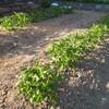 じゃがいもの芽、全部でた。ここまで順調