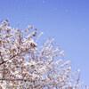 綺麗に散るソメイヨシノの桜吹雪を撮りたい。千葉県習志野市 2017