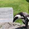 【#93】トマドイペンギン
