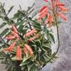 うぐいすアロエの花