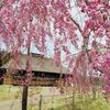 【お出かけ情報】ドライブにぴったり!八戸周辺の桜スポット5つ