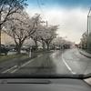 霰交じりの雨と桜