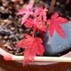 Fm放送で、紅葉が美しい「カエデ」の仲間たちを花合しました。