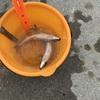 大津港にてサバが釣れたよ