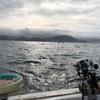 葉山で鯛のリレー釣り