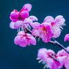 🌺奈良・月ヶ瀬梅林、梅まつりはまだなのに行って見た。
