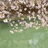 大岡川へ桜散歩 #2