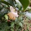 茶の花が咲いていた