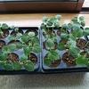 オクラ栽培~本葉がやっと2枚