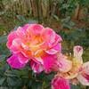 バラを見に行ってきました。