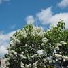 白い花のライラック…