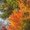 せせらぎ街道の紅葉2017とカツラの葉の甘い香り