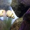 ヒメタニシの稚貝が産まれました🐚