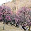 【一眼レフ】佐野市にある梅林公園で梅を撮影してきた