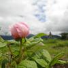 ベニバナヤマシャクヤク咲く観音峰