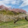 春を感じる梅の花、そしてフキノトウ