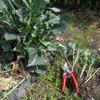 ブロッコリーの差し芽をしました。&畑の様子