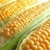 遺伝子組換え表示制度問題から透けて見える農業政策などの課題(2/2)