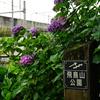 また雨だ!梅雨だ!紫陽花だ!飛鳥山公園で今年最後の紫陽花と北とぴあからの新幹線を撮ってきた【2017.07.01】